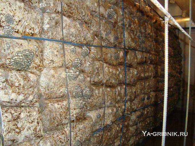 Как выращивать вешенки в домашних условиях на пнях