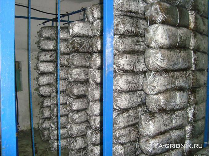 Выращивать грибы вешенки в домашних условиях